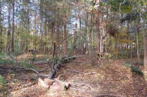 Dead Pine Down