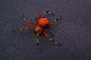 Picture of orange spider with black and white legs