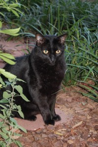Harry a young black cat
