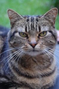 Tabby as a younger cat