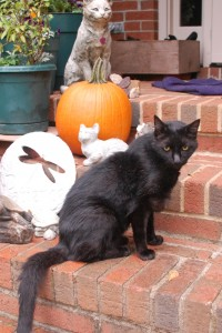 Harry, a black cat, with pumpkin in background