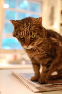 Tabby as an older cat